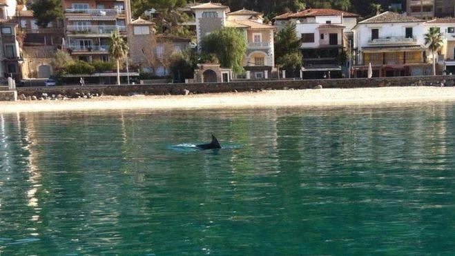 El paseo de un delf�n por el Port de S�ller triunfa en Facebook