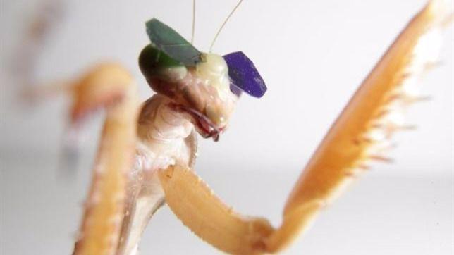 Científicos prueban unas gafas 3D a una mantis