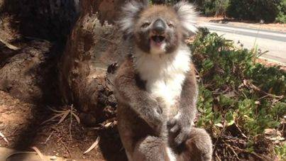 El lloro de un koala se vuelve viral