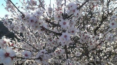 La flor del almendro se adelanta 20 días