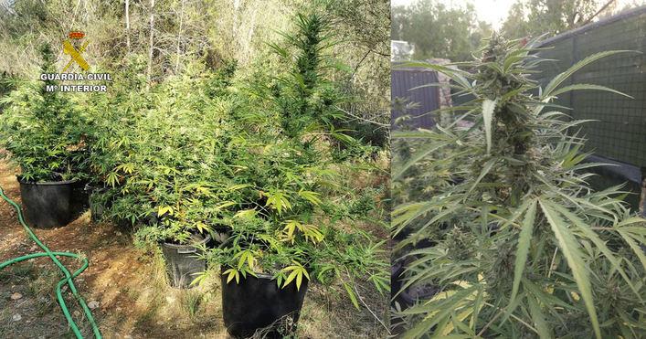 Desmantelada una plantanción de marihuana compuesta por 793 plantas en Santa Margalida