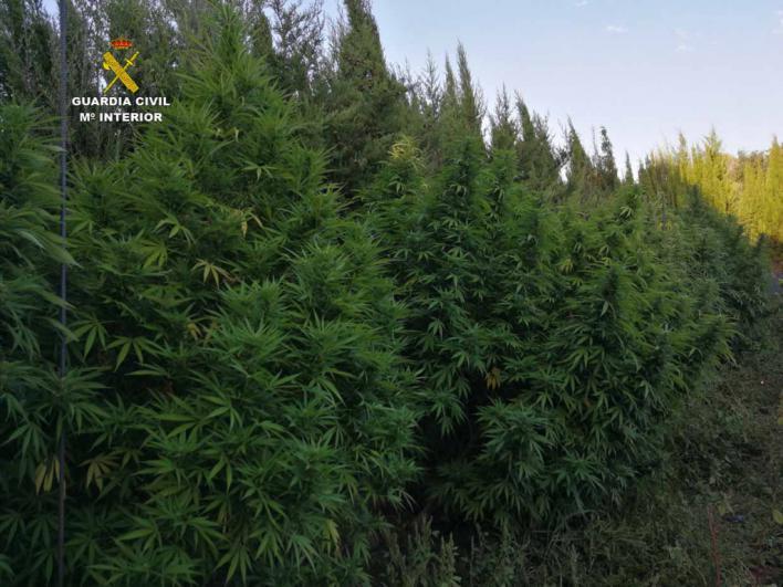 Detenido un vecino de Artà por montar una plantación de marihuana camuflada en una arboleda
