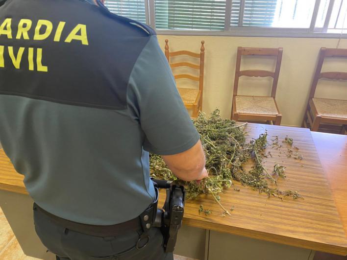 Roban 325 plantas de cáñamo industrial en Sencelles creyendo que eran de marihuana