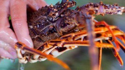 Los pescadores piden el etiquetado de la langosta menorquina para evitar el intrusismo