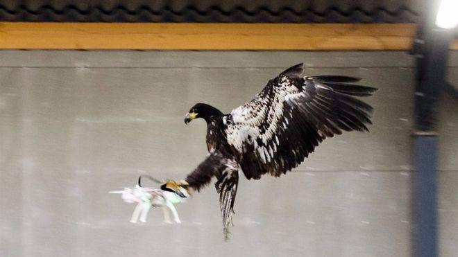 Holanda entrenar� �guilas para eliminar drones amenazantes
