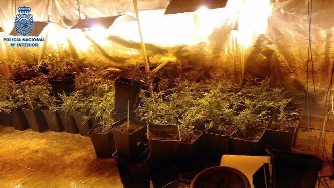 Detenida una mujer por tener una plantación de marihuana en su casa de Palma