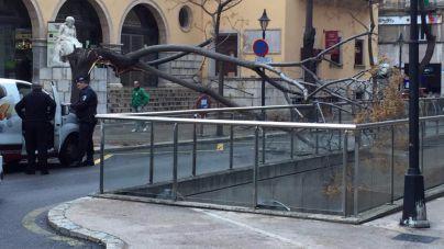 La caída de un árbol en la plaza del Olivar obliga a cortar el tráfico