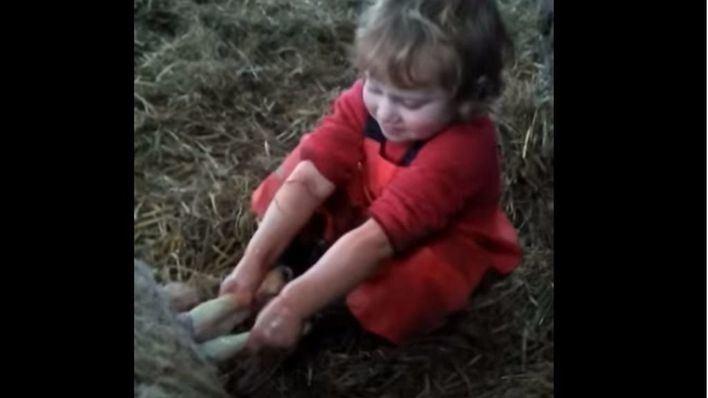 Un niño de tres años ayuda a parir a una oveja