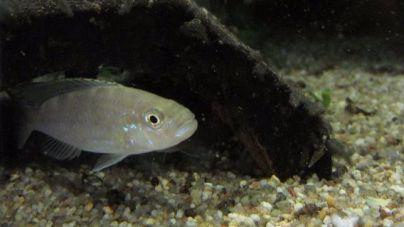Los peces también se distinguen entre zurdos y diestros