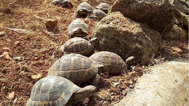 Entre ellas, veintidós tortugas de la especie mediterránea