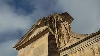 Muere la palmera más emblemática de Sineu