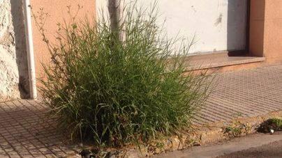 Quejas vecinales en Sa Pobla por la proliferación de hierbajos en zona pública