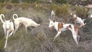 Condenada por instrusismo una criadora de perros de Mallorca