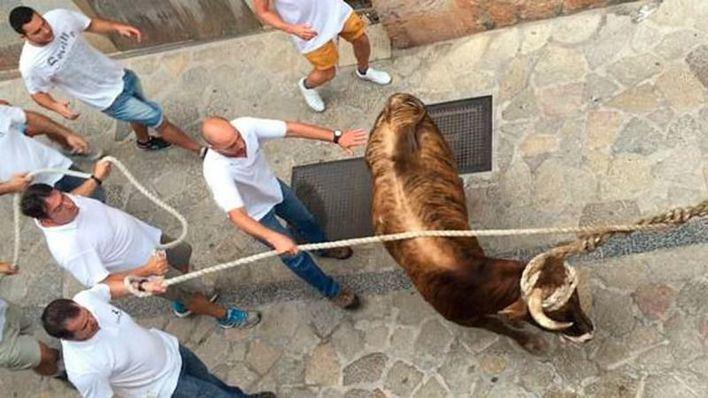 Los animalistas temen que el PSIB vote las enmiendas del PP para blindar el toro de Fornalutx