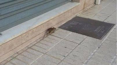 Aumentan las quejas vecinales en Lloseta por una plaga de ratas