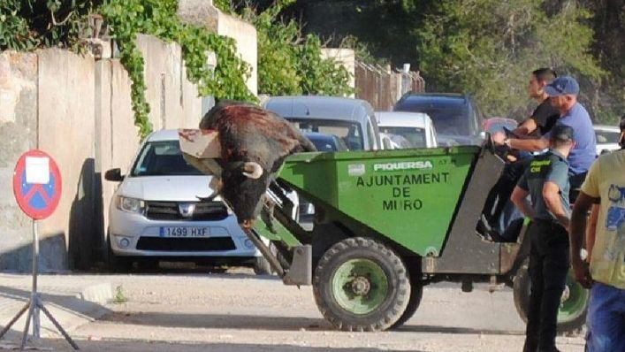 ASSAIB vuelve a denunciar al Ajuntament de Muro por prestar sus medios a las corridas de toros