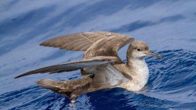 Localizada en Mallorca la pardela balear más longeva