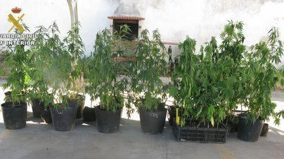 Las plantas miden un metro y medio de altura