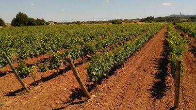 Agricultura autoriza 95 hectáreas más de viñedo en Balears