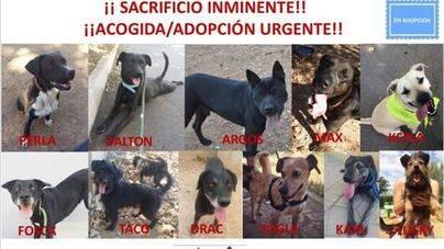11 perros de Son Reus, en riesgo de ser sacrificados mañana
