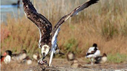 Detectados 24 pollos de águila pescadora en Balears frente a 16 el año pasado