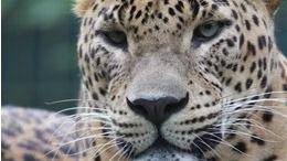 Nace el primer leopardo asiático en el zoo de Santillana