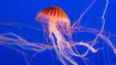 Las medusas no llegan a la costa por el calor