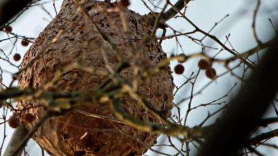 Destruído el segundo nido de avispa asiática hallado en Sóller