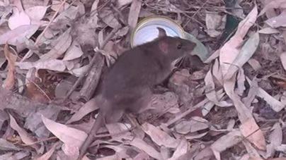 Los vecinos de Camí de Jesús denuncian la aparición de una nueva plaga de ratas en Palma