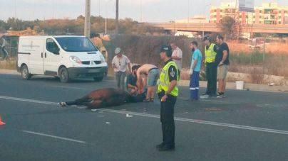 Muere el caballo de la galera golpeada por un coche en Palma