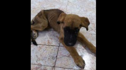 Abandonado un perro, sin agua ni comida, en una casa de Manacor
