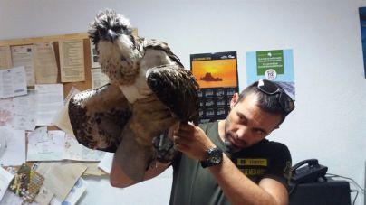 Rescatan un águila pescadora proviente de Gran Bretanya en Ibiza