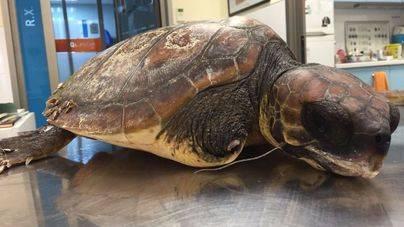 Rescatada una tortuga marina mutilada en aguas de Eivissa