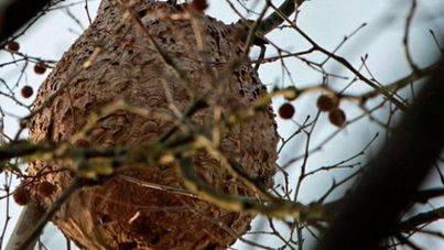Medi Ambient ataja la presencia de la avispa asiática pero no la da por erradicada