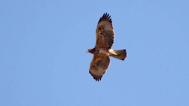 Endesa adecúa líneas eléctricas de Llucmajor para proteger a las águilas