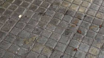 Una plaga de cucarachas invade la calle Foners de Palma