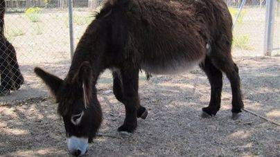 El burro de un Belén viviente, víctima de una gamberrada