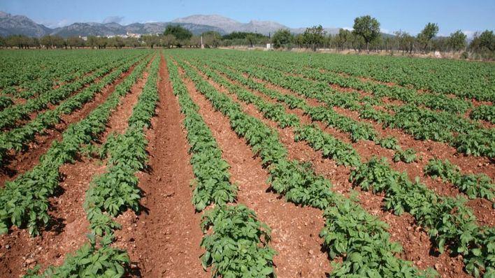 El reparto de las lluvias deja beneficios en el campo mallorquín