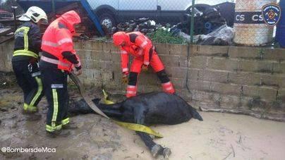 Rescatado en Alcúdia un caballo que quedó atrapado en el barro