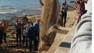 Hallado muerto un tiburón de casi cuatro metros en el Molinar