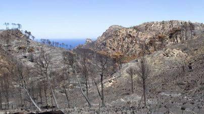 Capturados en la zona del incendio de Andratx 10.524 insectos que matan a los pinos