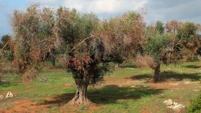 La bacteria infecciosa destruye cerezos y adelfas