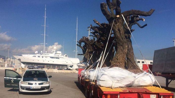 Inmovilizada una partida de olivos en el puerto de Palma por la amenaza de la 'Xylella fastidiosa'