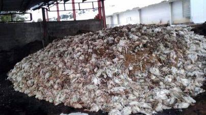 Los cadáveres de los animales amontonados en la granja.