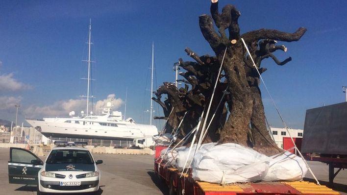 La Guardia Civil incrementará los controles en puertos y aeropuertos contra la Xylella