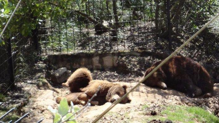 Recogida de firmas para realojar a los osos de la Reserva de Galatzó
