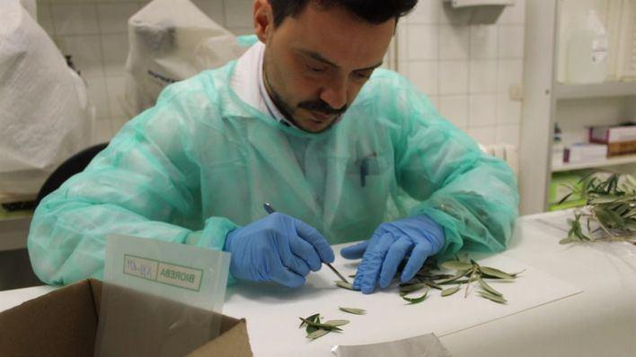 La Conselleria de Medi Ambient estudia la expansión de la bacteria