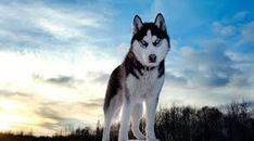 Un perro salva a un niño de morir congelado en Siberia
