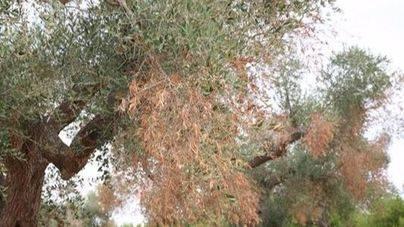 Un árbol afectado por la Xylella fastidiosa