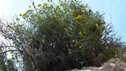 La manzanilla de es Vedrà es reconocida como endemismo
